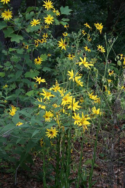 helianthus_strum_rudbeckia_mollis